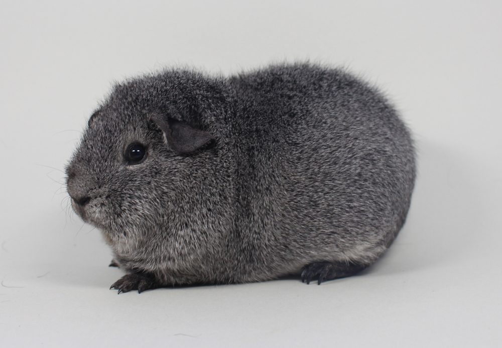 "US-Teddy ""Silver Desteny"" in Silberagouti von Horst & Chris Zach"