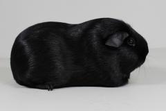 Glatthaar schwarz